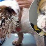 Anjing Bulldog Diserang Landak